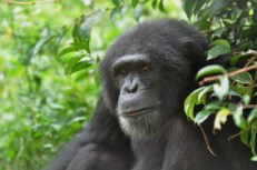 Bouboule, a rescued chimpanzee, at the Sanaga-Yong Rescue Center in Cameroon.