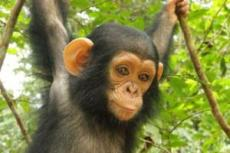 Carla a rescued baby chimpanzee hangs from some vines at the Sanaga-Yong Rescue Center in Cameroon.