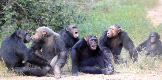 Moabi, Bikol, Jacky, Mowgli, Simon and Njabeya, chimpanzees at the Sanaga-Yong Rescue Center in Cameroon.