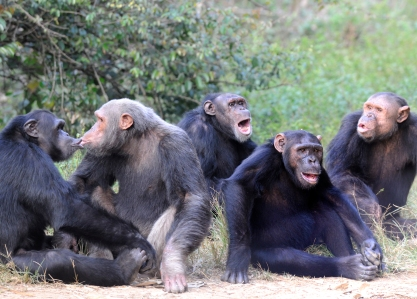 Moabi, Bikol, Jacky, Mowgli, Simon and Njabeya vocalizing at the Sanaga-Yong Rescue Center in Cameroon.