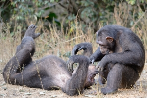 Niete grooming Emma at the Sanaga-Yong Rescue Center in Cameroon.
